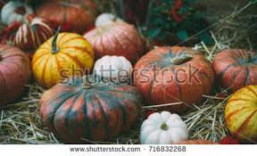 thanksgiving day stilllife various marrows different stock photo