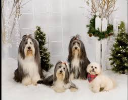 bearded collie adoption bearded collie dogs bearded collie dog breed info u0026 pictures petmd