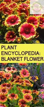 flower encyclopedia plant encyclopedia blanket flower bless my weeds