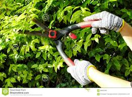pruning of ornamental trees stock photo image 90925202