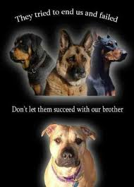 american pitbull terrier vs german shepherd 1852 best for the love of pitbulls images on pinterest animals