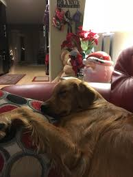 happy post thanksgiving nap goldenretrievers
