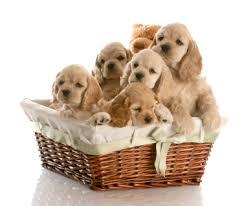 afghan hound breeders qld registered cat and dog breeder u0027s directory registeredbreeders com au