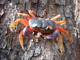 Halloween Hermit Crab by Do Halloween Moon Crabs Make Good Pets Find Out Here