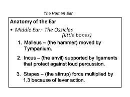 Human Ear Anatomy Quiz Human Ear Gss 106 The Human Ear Quiz A Student Guitarist Plays A