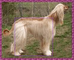 afghan hound puppies ohio afghan hound precious hosanna precious gift photo page akc