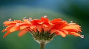 most beautiful flower hd wallpaper u2013 orange flower u2013 hd wallpapers