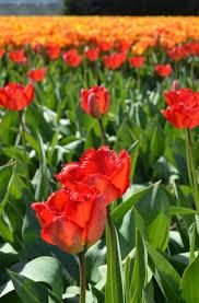 photo essay tulip fields in the netherlands u2014 jennifer e snyder