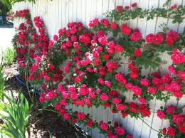 Australian Garden Flowers by Flower Garden Design Ideas Archives Home Joy Closeup Of The Plants