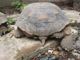 how to care for a desert tortoise garden wendys hat