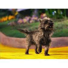 affenpinscher brown cairn terrier yes just like toto smartest small breed around