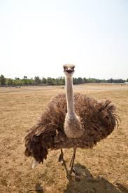 96 best ostrich images on pinterest ostriches animals and emu