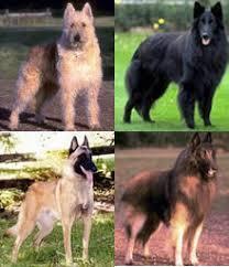 belgian sheepdog varieties pet finder pet shop pet world pets online types of pets pet at