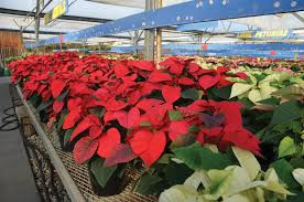 Christmas Plants Some Facts About The Popular Poinsettia U0026 Other Christmas Plants
