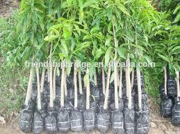 nursery wholesale mangifera indica mango tree seedlings buy