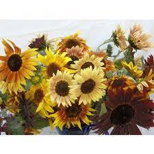 renee s garden sun samba ornamental sunflower seeds