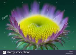 Washington State Botanical Gardens Flower Aster Closeup Cultivated Bellevue Botanical Garden Stock