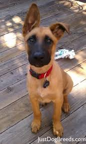 belgian malinois markings best 10 belgian malinois ideas on pinterest belgian malinois