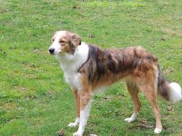 afghan hound collie mix shaving clipping a bc general border collie discussion bc boards