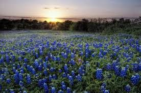 Bluebonnet Flowers - where can you see bluebonnets bloom in texas