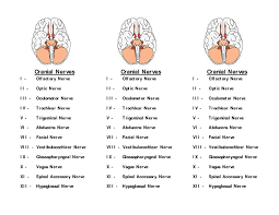 Gross Anatomy Of The Brain And Cranial Nerves Worksheet Cranial Nerves Worksheet Worksheets Reviewrevitol Free Printable