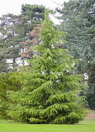 golden deodar cedar tree tlc garden centers