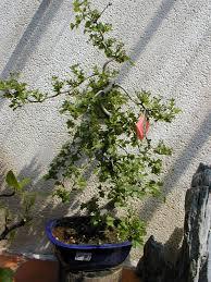 bonsai saule pleureur bonzaï