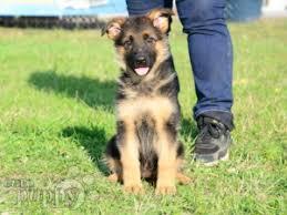 belgian shepherd for sale ireland german shepherd dog puppies for sale euro puppy
