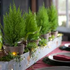 lemon cypress topiary flower boxes and yards