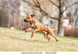 american pitbull terrier rhodesian ridgeback mix pitbull stock images royalty free images u0026 vectors shutterstock