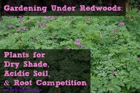 gardening redwoods dealing with shade acidic soil and