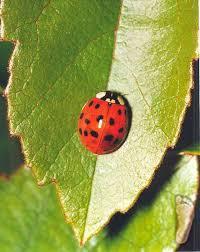 Ladybug Resume Ladybug Infestations Local News Theadanews Com