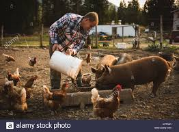 man feeding pigs in a pig pen shot through wire fence stock photo
