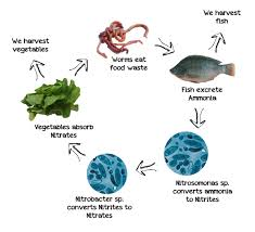 here is what aquaponics comes down to a continual cycle of