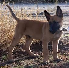belgian shepherd nature belgian shepherd dogs breeds pets