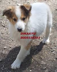 afghan hound collie mix collie rough price in india collie rough puppy for sale in