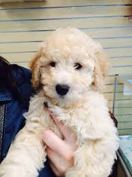 goldendoodle puppy treats 37 best goldendoodle images on my beautiful and cats
