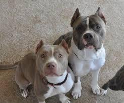 american pitbull terrier gotti razors edge razors edge gotti pitbull puppies purebred puppy