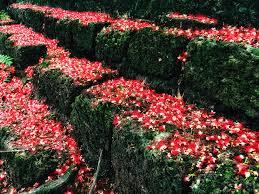 Flower Garden Hanoi by Red Carpets Of Freshwater Mangrove Flowers Nhan Dan Online