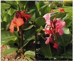 Canna Lilies Overwintering Canna Lilies How To Store Canna Bulbs Angie U0027s