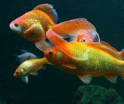 goldfish care fancy goldfish and goldfish diseases guide to