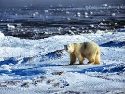 polar bear hd wallpapers earth blog