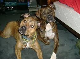 american pitbull terrier c what is a pit bull myths and breed specific legislation bully breeds
