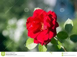 flower climbing red rose stock photo image 56151702