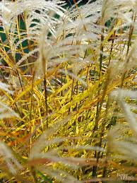 are there any ornamental grasses that will grow in partial shade