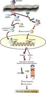 myostatin promotes the wasting of human myoblast cultures through