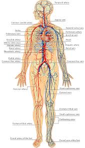 Vascular Anatomy Of The Brain Arteries And Veins Of The Human Body Arteries Inside The Skull