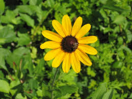 plants native to illinois black eyed susans how to plant grow and care for black eyed