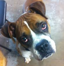 15 best available boxers for adoption images on pinterest boxer