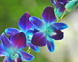 blue and purple orchids purple blue orchids etsy